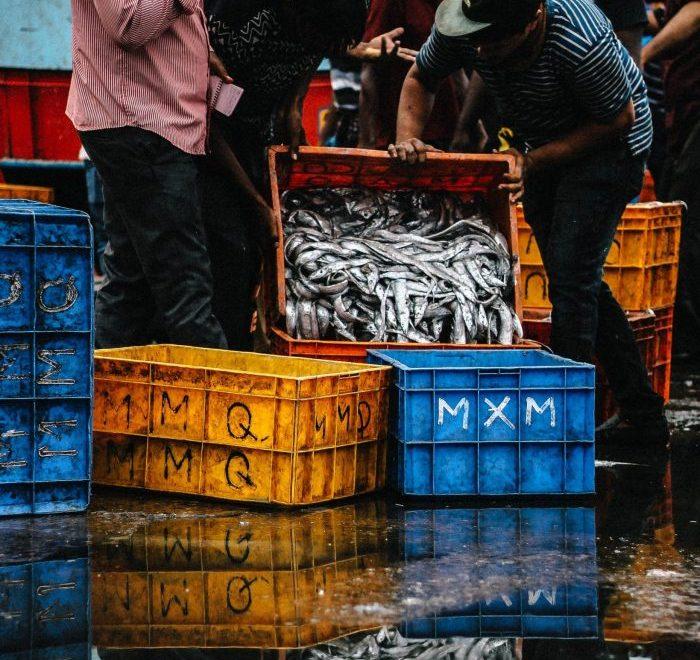 Fishermen dumping fish into a large plastic box